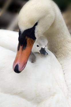 Mute swan & cygnet by Jacky Parker: Mute Swan, Mother S, Beautiful Birds, Baby Animals, Baby Swan, Swan Cygnet