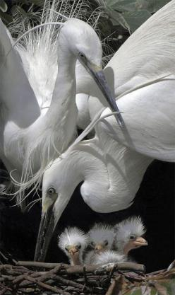 Ohhhhhhhh........: Family Photo, Egret Family, Snowy Egret, White Egret