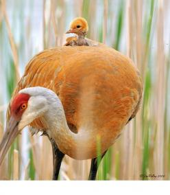 Sandhill Crane Mama... an incredible shot, since Sandhills raise their young in the most isolated possible places.: Cute Animal, God, Mother, Animal Kingdom, Baby Animals, Jim Ridley
