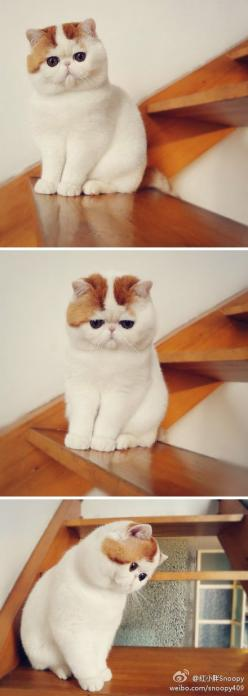 Snoopy being cute.: Kitty Cat, Funny Face, Exotic Shorthair Cat, Cute Cat, Cutest Cat, Exotic Cats Shorthair, Persian Cat, Cats Kittens