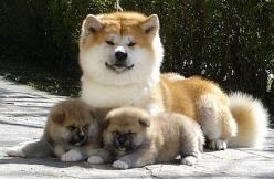 True Japanese Akita: Akita Beautiful, Mother, Extraordinarycreatures Animals, Akita Inu, Animals Dogs, Akita S, Baby Doges