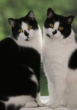 we are twin sisters born under the sign of ……….: Cats Tuxedo, Kitty Cat, Tuxedo Cats, Black And White, Charming Twins, Twin Cats, Animals Cats, Cats Kittens, White Cat