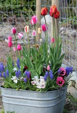 tulips in a pot - plant them and cover with newspaper and keep it in the garage over winter -I'll have to try this next year.: Spring Flowers, Ideas, Galvanized Planter, Washtub, Container Gardening