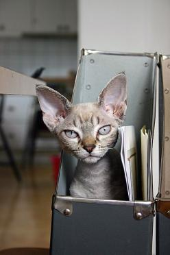 """Do not meddle in the affairs of cats, for they are subtle and will pee on your computer."" --Bruce Graham: Kitten, Beautiful Cats, Cute Cats, Big Ears, Pet, Devon Rex Cats, Feline, Awww Wittle, Animal"