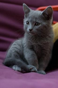 """Loneliness is comforted by the closeness and touch of fur to fur, skin to skin or--skin to fur."" --Paul Gallico: Cats, Gray Kitten, Grey Cat, Animals, Russian Blue Kitten, Grey Kitten, Gray Cat, Kitty, Russian Blue Cat"