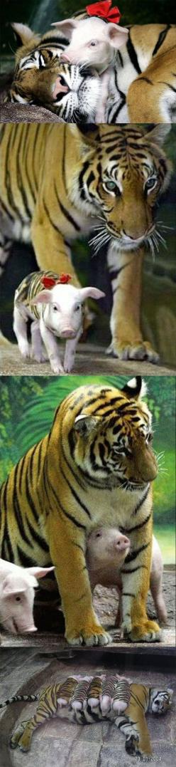 After loosing her cubs, the mother tiger went into a depression. To help her with her grief, her caretakers found these piglets that were orphans, and needed a mother. To help her accept them as her own, a tiger pattern jacket was put on each piglet. With