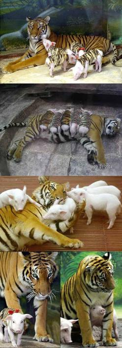 At Sriracha Tiger Zoo in Thailand, a mother tiger lost her cubs due to premature labour, then became depressed. Her health declined and she was diagnosed with depression.   Zoologists wrapped piglets up in tiger-print cloth, and presented them to the moth