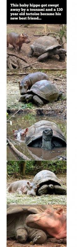 Best friends - Win Picture | Webfail - Fail Pictures and Fail Videos.  A turtle and a baby hippo.  Cute: Baby Hippo, Friends Kelsey, Best Friends, Friends Turtle, Bff, Friends Awwwwwww, Friends Aaawwww, Friends Win, Disney Movie