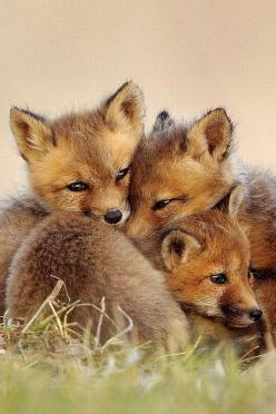 Little foxes: Babies, Animals, Cute Fox, Baby Animal, Baby Foxes, Red Fox