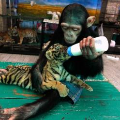 "Now this makes me say ""Awwww"": Animals, Sweet, Tiger Cubs, Adorable, Tigers, Photo, Monkey"