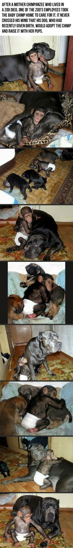 Ohhhhhhhhhhhhhhhhhhhhhhhhhhhhhhhhhhhhhhhh my god this is the cutest thing EVER.: Pet Monkey, Adopts Baby, My Heart, Baby Chimpanzee, Animalss, Baby Monkeys, Dog Adopts