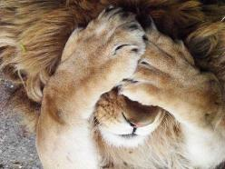 One of those days...: Big Cats, Animals, Bigcats, Things, Lions, Peek A Boo, Photo, Eye