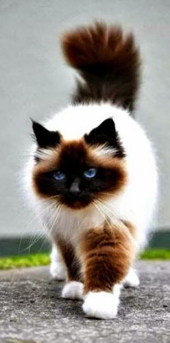 The Himalayan Himalayan Persian, or Colourpoint Persian as it is commonly referred to in Europe), is a breed or sub-breed of long-haired cat identical in type to the Persian, with the exception of its blue eyes and its point colouration, which were derive