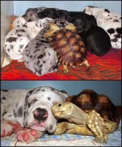 This rescued tortoise was in need of some love. He made pals with these (rescued) dogs, and now they are one big happy, multi-species, family! Animals are awesome!: Animals, Sweet, Friends, Dogs, Pet, Turtles, Puppy, Tortoises, Rescued Tortoise