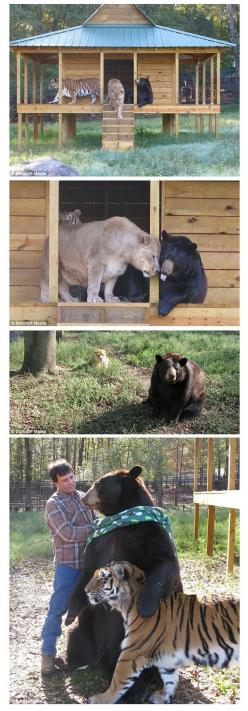 "Tiger, lion and bear form unusual friendship ~ ""Baloo the bear, Leo the Lion and Shere Khan the tiger have the most unusual and unlikely friendship between them."" ~ ""Living with the zoo's founders for the past eight years, Shere Khan, Balo"