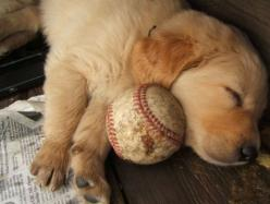 28 Pictures Of Golden Retriever Puppies That Will Brighten Your Day - goldens are the best: Puppies, Animals, Dogs, Sweet, Favorite Things, Golden Retrievers, Baseball, Puppys, Friend