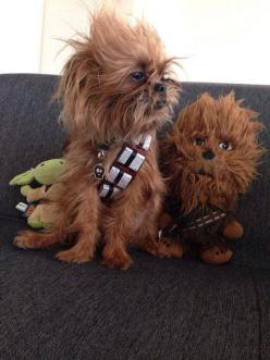 Adorable Dog Dressed Up as Chewbacca Wins Third Place in Petco México's 'Star Wars' Photo Contest: Animals, Dogs, Stuff, Pets, Chewbacca Dog, Funny, Star Wars, Starwars