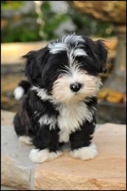 Havamalt- Havanese and Maltese mix. How adorable! Add the Yorkie and that is Cooper! Cutest puppy ever.: Havanese Maltese Mix, Cutest Puppy Ever, Puppys, Yorkie Maltese Mix Puppies, Havamalt Puppies, Dog, Yorkie Mix, Havamalt Havanese, Animal
