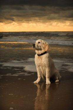 it was a nice day here at the beach..I guess it is time to go home.  Golden Retriever: Beaches, Dogs, Golden Retrievers, Pet, Puppy, The Beach, Friend, Animal