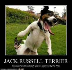 Jack Russell Terrorist... I had a rat terrier for 7 years and we used to call him crack dog cause he would randomly go crazy and run around the house at light speed! XD: Funny Animals, Jack Russell, Dogs, Pet, Funny Stuff, Funnies