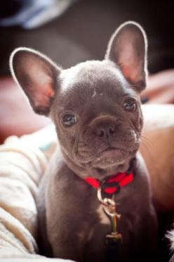 Look into my eyes and tell me you are not enticed by my chocolate cuteness!!: Animals, French Bulldogs, Pet, Frenchbulldogs, Baby, French Bulldog Puppies