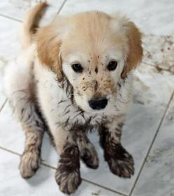 Muddy Golden Retriever Puppy--- he knows he is in trouble. :'): Face, Dirty Puppy, Little Puppies, Golden Retrievers, Pet, Muddy Puppy, Muddy Paws, Golden Puppy, Golden Retriever Puppies