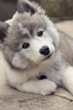 Pomsky <3 Turn your screen slightly to the left... He's looking at you.... How beautiful is he!!!: Pomeranian Husky, Animals, Pomsky Puppy, Dogs, Pet, Doggies, Google Search, Pomsky Puppies