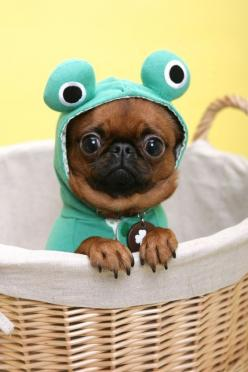 Pug Puppy Dogs: Animals, Dogs, So Cute, Pet, Funny, Costume, Puppy, Pugs, Frogs
