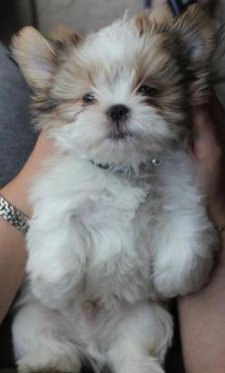 shih tzu puppy.  I repinned this last   night and I've had 38 people repin it onto their boards. So adorable. Our Sadie   Shorkie puppy has the Shih tzu face.  She is a cutie pie and has won all of our   hearts.