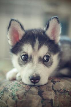 Small Husky. Oh my goodness. Have to have one someday.   ...........click here to find out more     http://googydog.com: Cute Puppies, Siberian Husky Puppies, Siberian Huskies, Baby Huskie, Huskies Puppies, Friend