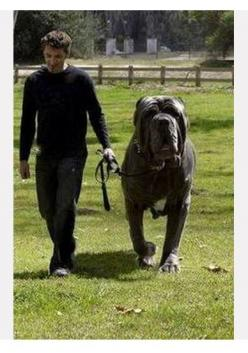 The 10 largest Dog Breeds, Breed#1 out of 6. I am going to need to know this because I LOVEEE huge dogs.: Huge Dogs, Largest Dog, Mastiff Dogs, Pet, Large Dog Breed, English Mastiffs, Dog Breeds, Big Dogs, Animal