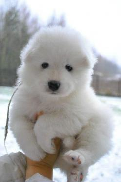 The Cutest Samoyed Dog