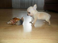 """""""Oh my god! What is that thing?!"""" #chihuahua #snail #funnydogs"""