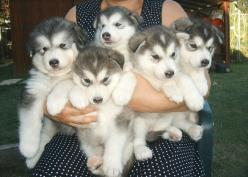 An armful of puppies. Doesn't get better than that..i may have just fallen in love: Animals, Dogs, Pet, Malamute, Puppys, Adorable, Huskies Puppies, Husky Puppies