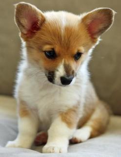 Corgis are my favorite