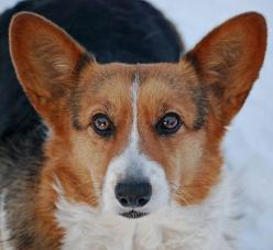 Gorgeous Welsh Corgi