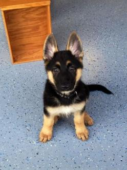 OMG, I want a German Shepherd puppy so bad! When they get older they can be used to fight zombies, so really it's pretty practical.: Germanshepherd, German Shepards, Dogs, Pet, Puppys, German Shepherd Puppies, German Shepherds, Animal