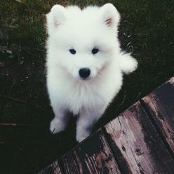 p; @xradtbhx ✧*:・: Animals, Dogs, Samoyed, White Puppies, Puppys, Adorable, Box, Furry Friends