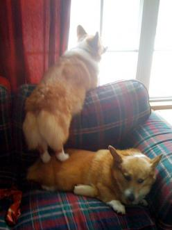Pictures of Pembroke Welsh Corgi Dog Breed  Kippie needing a better look so standing on Oonie #corgi