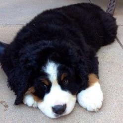 They have the biggest, fluffiest puppy paws. | 23 Reasons Bernese Mountain Dogs Are The Champions Of Our Hearts: Puppy Paws, Reasons Bernese, Bernese Mountain Dogs, Heart, Biggest Fluffiest, Puppys, Fluffiest Puppy, Paws 23, 23 Reasons