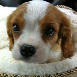 Cavalier King Charles Spaniel Puppies Are The Cutest Puppies To Ever -Look at that sweet face.: Spaniel Puppies, Cutest Puppy, Animals, Dogs, Pet, Puppys, Cutest Puppies, Cavalier King Charles, King Charles Spaniels