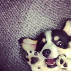 Corgi puppy, from wetpaint.tumblr.com. This puppy looks a like he's a little crazy and a whole lot of awesome.: Corgis, Animals, Dogs, Corgi Puppies, Pet, Puppys, Corgi S, Peek A Boo