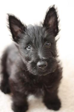 He's adorable. Scotty is my guess? I think if I had a Scotty, I would name him Scotty! LOL: Scottie Dogs, Scottish Terrier Puppy, Adorable Scottie, Scottie Puppy, Scottie Puppies, Scottish Terriers, Animal