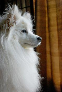 American Eskimo is a long haired medium sized dog breeds that was originated in Germany but also have completed some phases of development in United States.Though these dogs are not so famous and have been over 100 in AKC ranking but are surely known as b