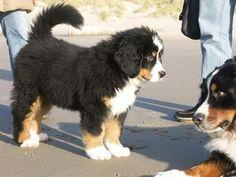 bernese mountain dogs - Google Search