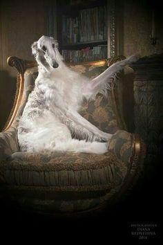 Borzoi sitting in the armchair like a real aristocrat. :) #animals #dogs #borzoi