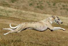 Evidence of the Greyhound was first discovered in tomb carvings in Egypt. They are the fast known dog and where used as hunters.They can be any color, including black, fawn and red, often combined with white or brindle markings. Greyhounds are part of the