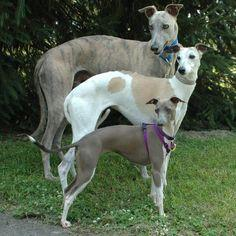 "Greyhound, Whippet, Italian Greyhound Need to carry this picture around at all times for when people ask ""What kind of dog is that?"" And then proceed to say that they thought they were bigger than that."