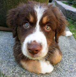 Introducing COPPER the Australian Shep: Australian Shepherd Dogs, Australian Shepherds, Shepherd Animal, Dogs Aussies, Favorite Pets Animals, Red Australian Shepherd, Australian Shepherd Puppies