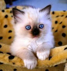 Pet's World: Top 5 of the Most Affectionate Cat Breeds